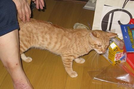 2008年9月21日の茶トラのボクちん(4歳)