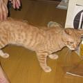 Photos: 2008年9月21日の茶トラのボクちん(4歳)
