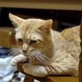 写真: 2011年10月5日の茶トラのボクちん(7歳)