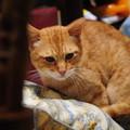 Photos: 2009年10月11日の茶トラのボクちん(5歳)