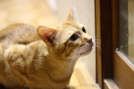 2010年10月11日の茶トラのボクちん(6歳)