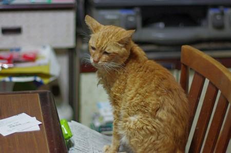 2011年10月15日の茶トラのボクちん(8歳)