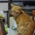 写真: 2011年10月15日の茶トラのボクちん(8歳)