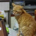 写真: 2011年10月15日の体調を崩して4ケ月半になる茶トラのボクチン(8歳)
