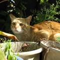 写真: 2008年10月19日の茶トラのボクちん(4歳)