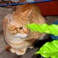写真: 2008年10月27日の茶トラのボクチン(4歳)