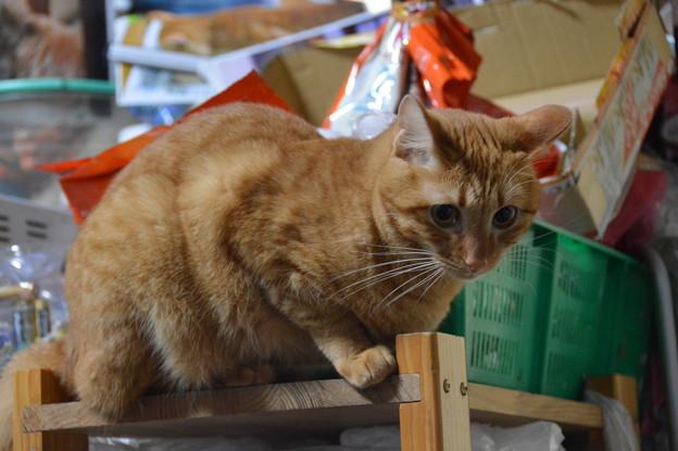 写真: 2016年11月20日の茶トラのトラちゃん(メス3歳)