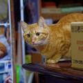 Photos: 2017年1月24日の茶トラのトラちゃん(メス3歳)