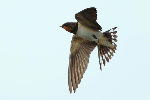 写真: 飛んでる燕さんのさらにアップ画像