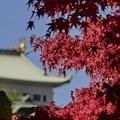 写真: 金の鯱とモミジ