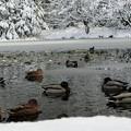 写真: カモの寒中水泳