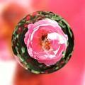写真: 薔薇と蜂を閉じ込めて