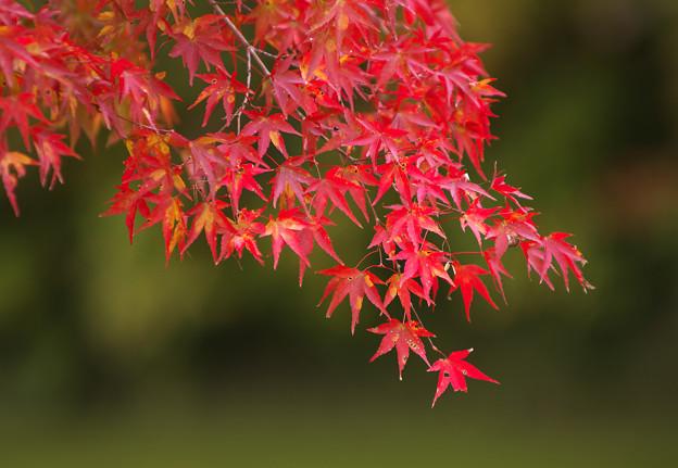 養老渓谷 紅葉2