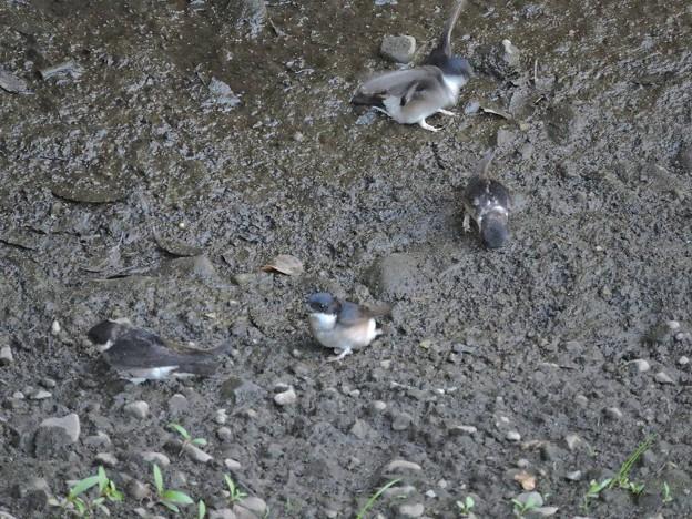 泥を運ぶイワツバメの群