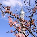 Photos: 河津桜&スカイツリー
