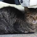 「新入り」の親猫? 2014.8.15(1)