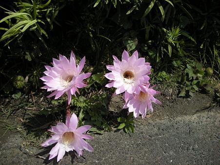 我が家のサボテンの花を思い出す
