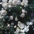 Photos: 富士宮の白いバラ