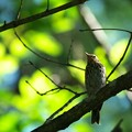 奥日光の野鳥