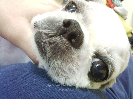 KINUKA【ボンボンコピーヌ】プレミアムごちそうまぐろ(犬用ふりかけ・トッピング) (20)