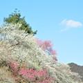 春を待つ 吉野の郷に 雲ひとつ