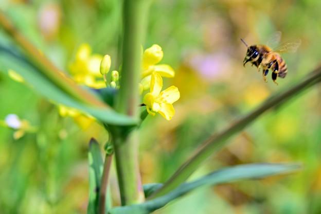 写真: 菜の花ハッチ