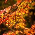 写真: Fire Maples