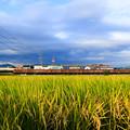 Photos: 収穫前の稲穂と115系