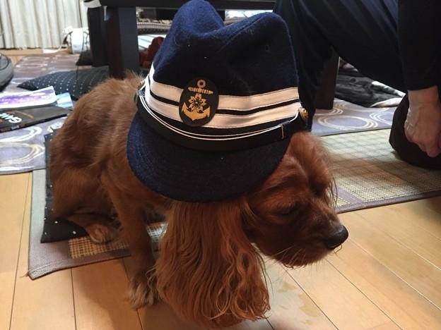 【特典】僕のキャバリア犬が海軍士官の第一種戦闘帽を被っています。