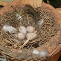 写真: 四個(家の中の巣)