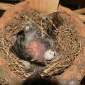 写真: 三羽生まれました
