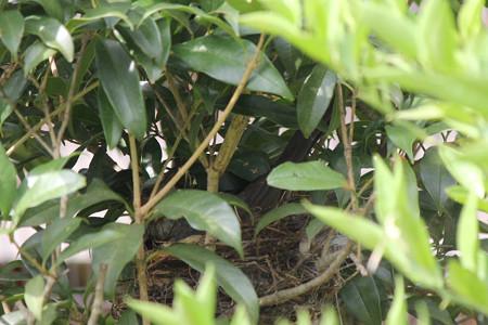 ヒヨドリ抱卵中