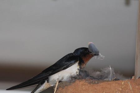キジバトの羽