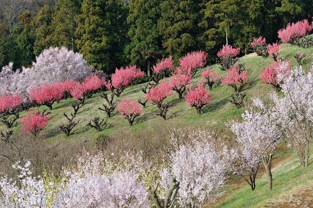 【保木の桃畑】2
