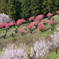 Photos: 【保木の桃畑】2