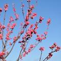 【保木の桃畑】4