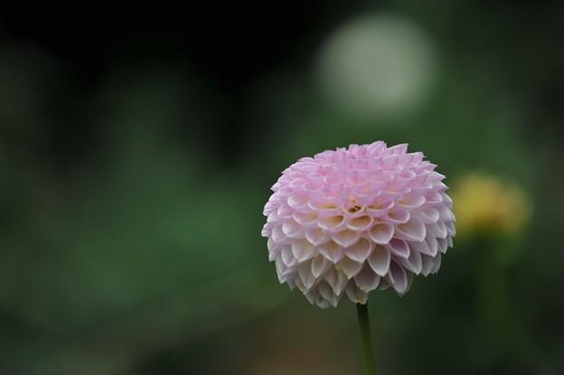 【ダリア・ムーミン】1