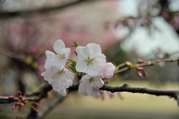 【新宿御苑・エドビカンザクラ】2