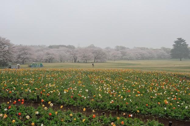 【昭和記念公園・ソメイヨシノ】1