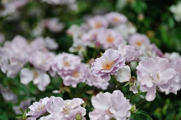 横浜イングリッシュガーデン_【紫の園】
