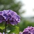 【町田えびね苑・紫陽花】5