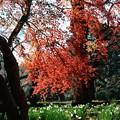 【新宿御苑の紅葉とスイセン】