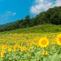Photos: 【大岩フラワーガーデン・ヒマワリ】1