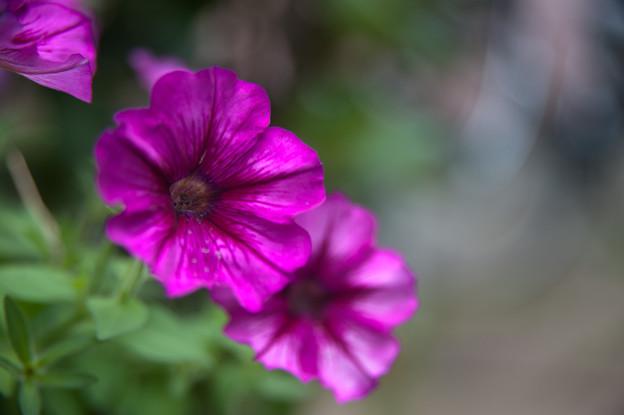 【庭の花・ペチュニア】1