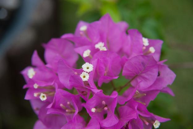 【庭の花・ブーゲンビリア】2