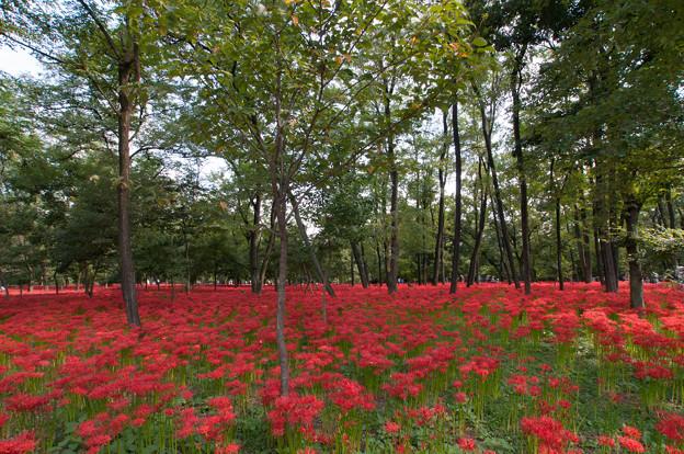 【巾着田の彼岸花】赤い絨毯1