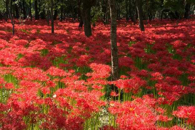 【巾着田の彼岸花】赤い絨毯2