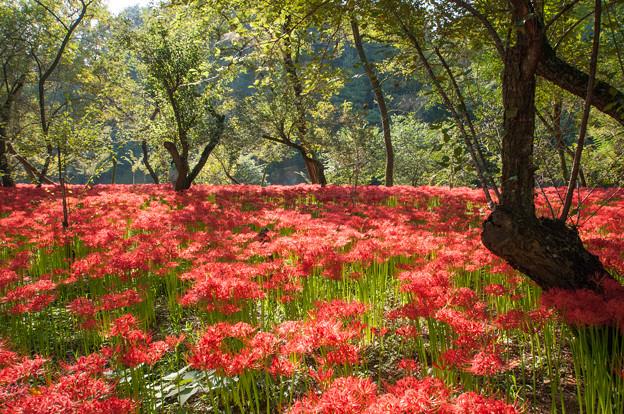【巾着田の彼岸花】赤い絨毯4