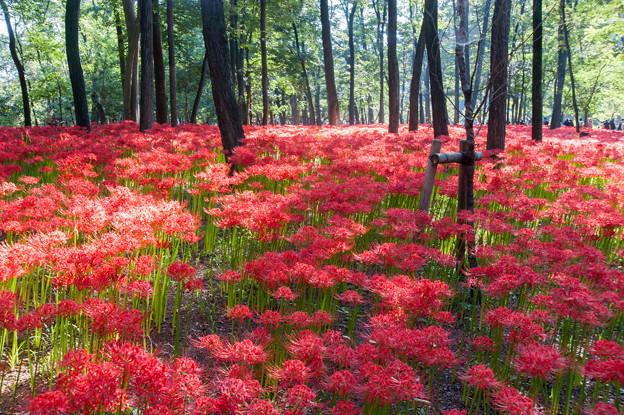 【巾着田の彼岸花】赤い絨毯6