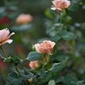 【花菜ガーデンの薔薇(カフェ・ラテ)】1